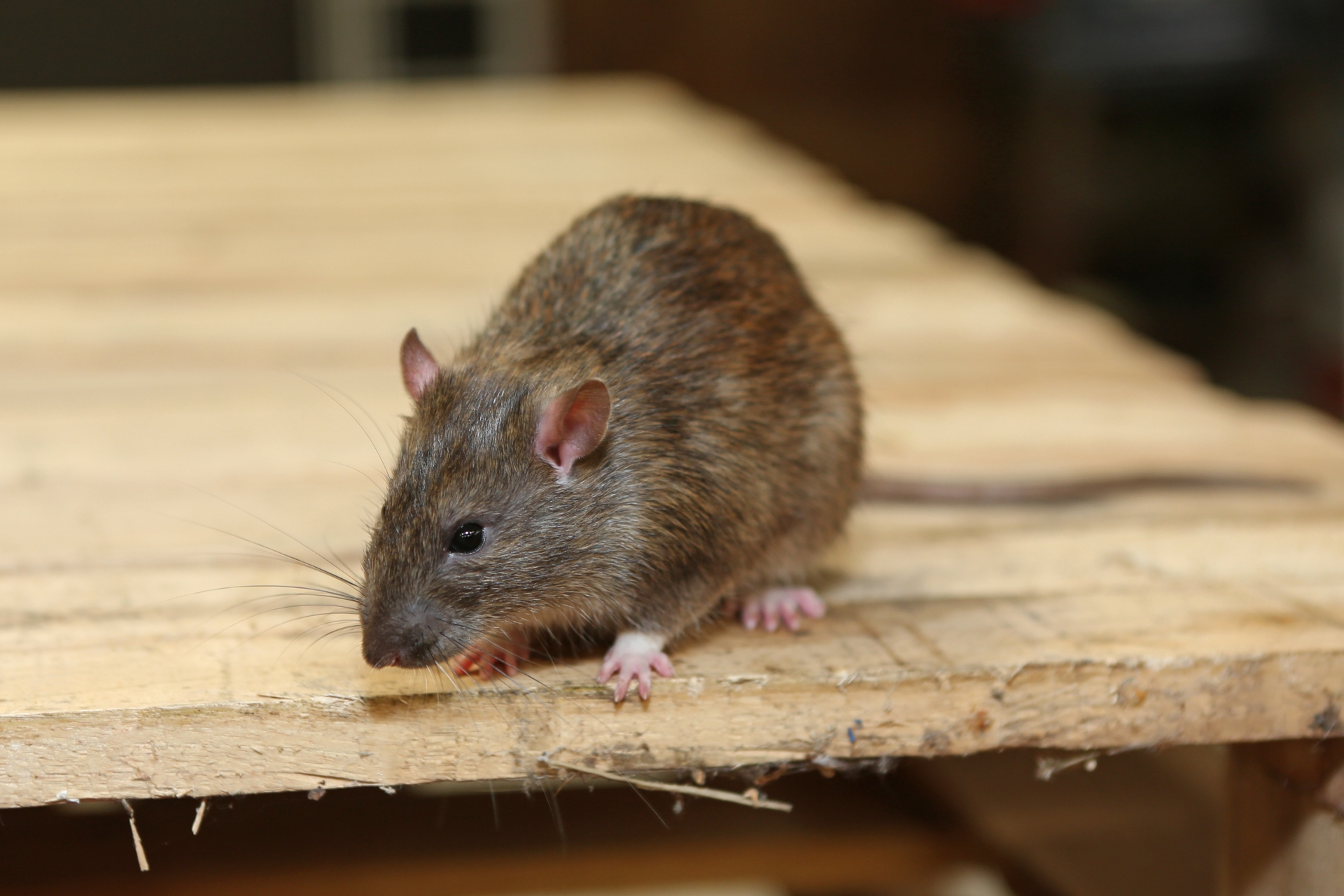 Rat Infestation, Pest Control in Friern Barnet, New Southgate, N11. Call Now 020 8166 9746