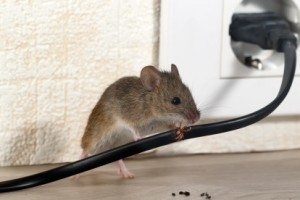 Mice Control, Pest Control in Friern Barnet, New Southgate, N11. Call Now 020 8166 9746