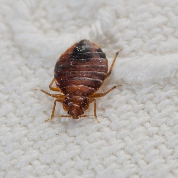 Bed Bugs, Pest Control in Friern Barnet, New Southgate, N11. Call Now! 020 8166 9746