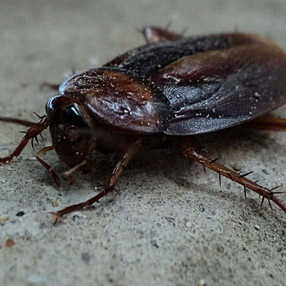 Cockroaches, Pest Control in Friern Barnet, New Southgate, N11. Call Now! 020 8166 9746