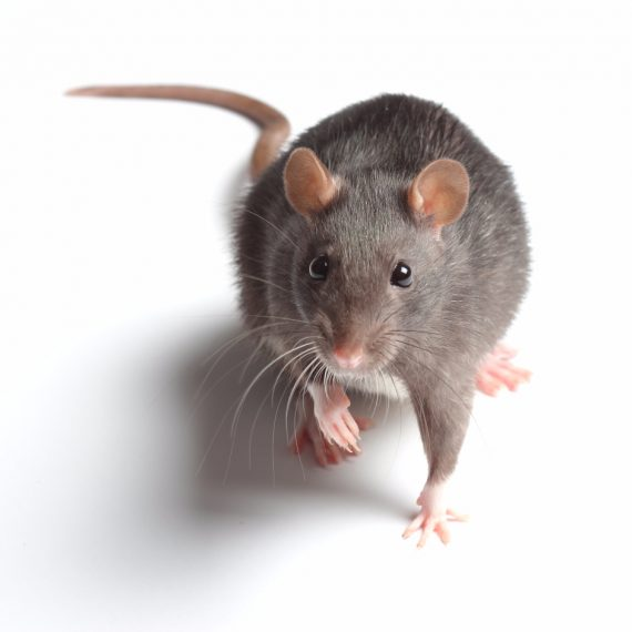 Rats, Pest Control in Friern Barnet, New Southgate, N11. Call Now! 020 8166 9746