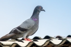 Pigeon Control, Pest Control in Friern Barnet, New Southgate, N11. Call Now 020 8166 9746